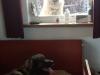Emma met haar pups H nest. leonberger
