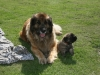 Angel en G pup leonberger