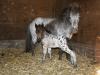 Pony leonberger