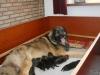 Emma met haar pups H nest leonberger
