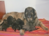 Emma met haar pups 11 dagen oud. Leonberger