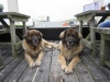 Angel en Bo leonberger