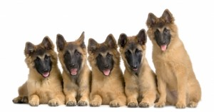 Jonge herdershonden